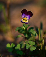 Tiny Johnny Jump-up (viola cornuta) wildflower. Image taken with a Nikon D4 camera and 70-300 mm VR lens  (ISO 100, 300 mm, f/5.6, 1/250 sec).