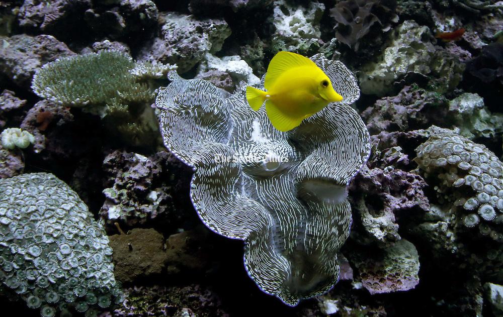Salt water coral exhibit at the Seattle Aquarium. (Alan Berner / The Seattle Times)
