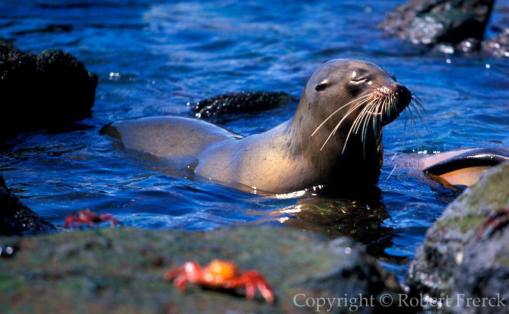 ECUADOR, GALAPAGOS ISLANDS juvenile sea lion and Sally Light-foot crabs Zalophus californianus species