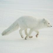 Arctic Fox running along Hudson Bay at Cape Churchill, near Churchill, Manitoba, Canada.