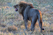 An African male lion (Panthera leo) baring his teeth exhibiting flehmen response which is a mammalian behavior where an animal inhales through the mouth and upper lip to expose the vomeronasal organ to the scent of pheromones,Okavango Delta, Moremi,  Botswana