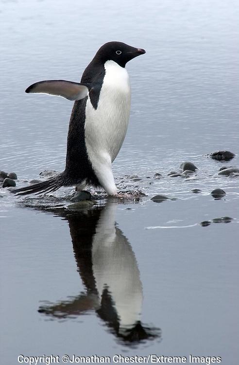 Adelie Penguins,penguin,Adelie,Antarctica,Jonathan Chester