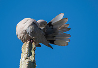 A Eurasian Collared Dove, Streptopelia decaocto, preens its tail feathers while perched on a cactus in the Desert Botanical Garden, Phoenix, Arizona
