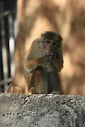 Temple monkey, Kandy, Sri Lanka