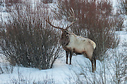 Bull elk during winter in Wyoming