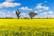 Trees in a field of flowering canola crop under blue sky and cumulus cloud at Fargunyah, New South Wales, Australia. <br /> <br /> Editions:- Open Edition Print / Stock Image