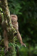 White-fronted Capuchin Monkey (Cebus albifrons) <br /> Puerto Misahualli, Amazon Rainforest, Napo Province<br /> ECUADOR. South America