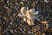 Seaweed growing in shingle beach, Shingle Street, Suffolk, England