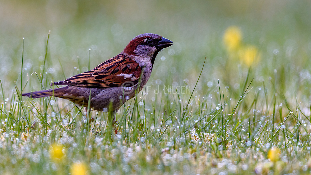 House sparrow (Passer domesticus, male) from Hidra, south-western Norway.