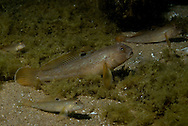 Roundy Goby<br /> <br /> Engbretson Underwater Photography