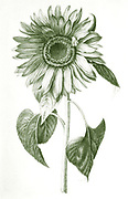 Digitally enhanced image of a Helianthus annuus, the common sunflower by Nicolas Robert from Sketchbook A at the Jardin Du Roi, Paris c 1650