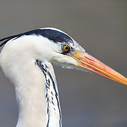 Portrait of a grey heron (Ardea cinerea), with the bird's protective nictitating membrane clearly visible over its eye. Photographed in Kanagawa Prefecture, Japan.