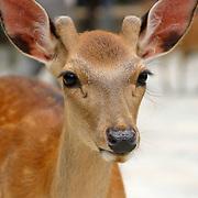 Deer close, Nara, Japan (June 2004)
