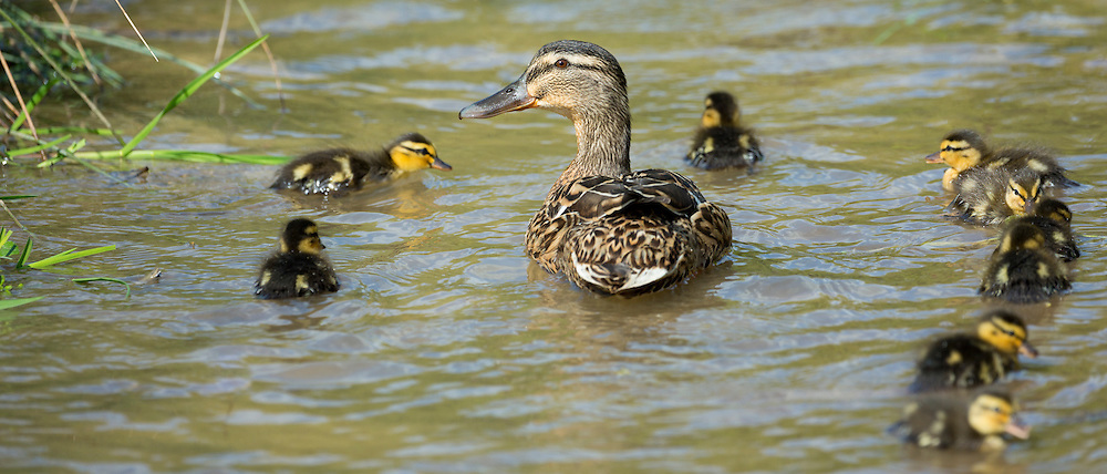 Mallard duck with ducklings on a stream in The Cotswolds, UK