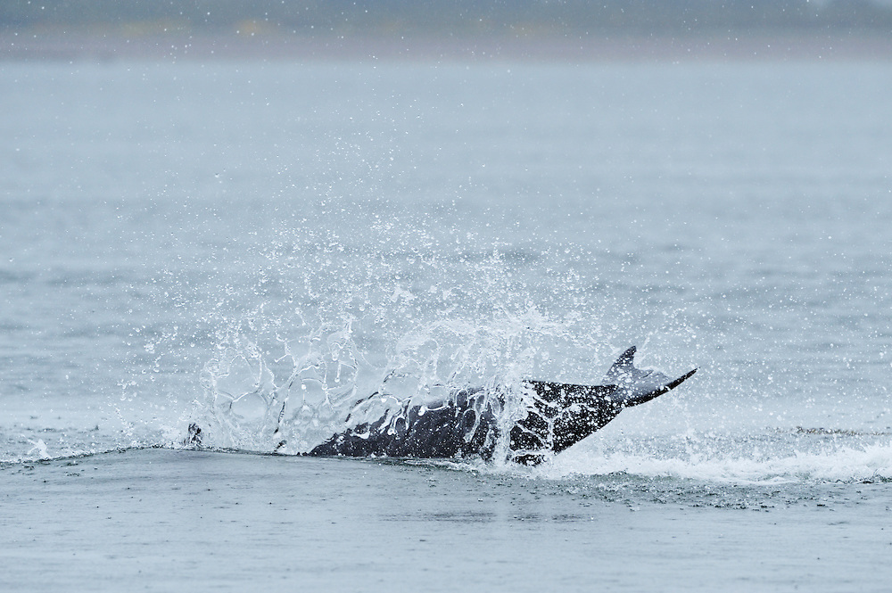 Adult Bottle-nosed Dolphin breaching,<br /> Tursiops truncatus,<br /> Moray Firth, Nr Inverness, Scotland - May