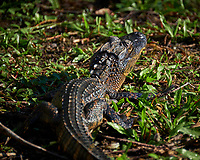 Baby (one-year old) Alligator at the pond at Clyde Butcher's Gallery. Winter Nature in Florida Image taken with a Fuji X-T2 camera and 100-400 mm OIS telephoto zoom lens (ISO 200, 400 mm, f/5.6, 1/250).