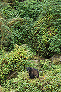 An adult American black bear sits in the temperate rain forest at Anan Creek in the Tongass National Forest, Alaska. Anan Creek is one of the most prolific salmon runs in Alaska and dozens of black and brown bears gather yearly to feast on the spawning salmon.