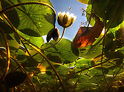 A white water lily pokes its flower skyward at the Washington Park Arboretum as a honeybee comes in for a landing.<br />