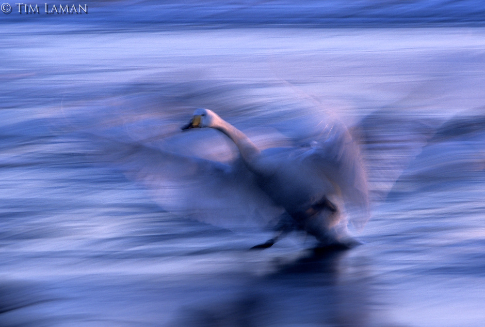 A whooper swan (Cygnus cygnus)  in motion taking off from the water.