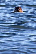 Common seal (Phoca vitulina) in Poole Harbour, Dorset, UK