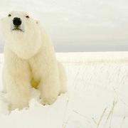 Polar Bear (Ursus maritimus) portrait. Cape Churchill, Churchill, Manitoba
