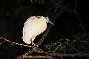 Capped Heron (Pilherodius pileatus)<br /> Rainforest<br /> Rewa River<br /> Iwokrama Reserve<br /> GUYANA. South America<br /> RANGE: Bolivia, Brazil, Colombia, Ecuador, French Guiana, Guyana, Panama, Paraguay, Peru, Suriname, and Venezuela.