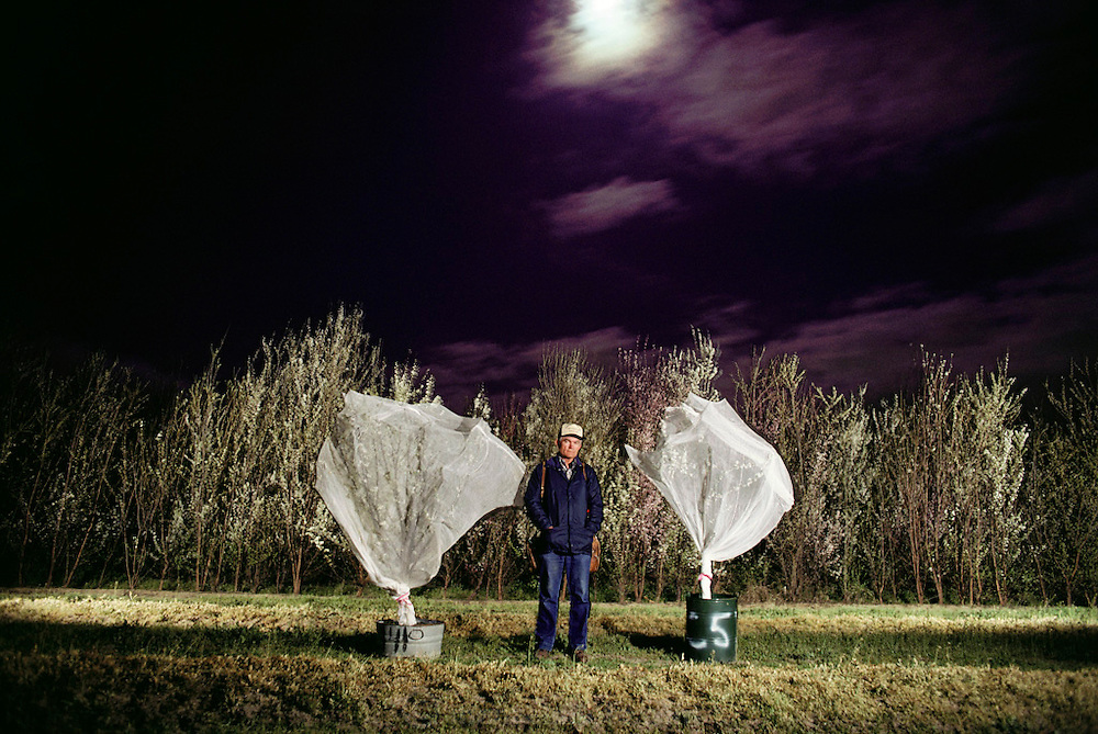 "Floyd Zaiger with ""Zaiger's brides"" at night in front of a test block of flowering trees. Hand-pollinated trees in barrels are covered with cheesecloth nets, which keeps stray bees from pollinating flowers with uncontrolled pollen. These draped trees are called ""Zaiger's brides"" by employees. Floyd Zaiger (Born 1926) is a biologist who is most noted for his work in fruit genetics. Zaiger Genetics, located in Modesto, California, USA, was founded in 1958. Zaiger has spent his life in pursuit of the perfect fruit, developing both cultivars of existing species and new hybrids such as the pluot and the aprium. Fruit trees in bloom -MODEL RELEASED. 1983."