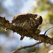 Northern Pygmy Owl(Glaucidium  gnoma) Adult feeding Fledgling. Montana