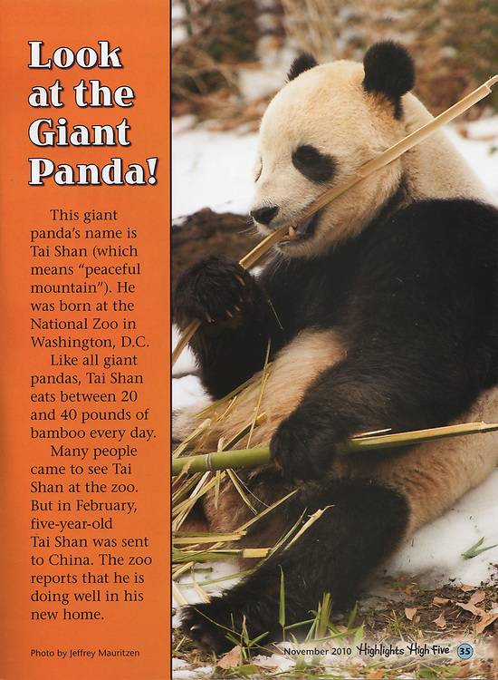 A Giant panda eats bamboo, published in Highlights for Children magazine.