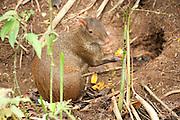 Central American Agouti, Dasyprocta punctata, Panama, Central America, Gamboa Reserve, Parque Nacional Soberania, female feeding on forest fruit