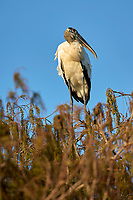 Wood Stork, (Mycteria americana) perched in tree, Arthur J Marshall National Wildlife Reserve - Loxahatchee, Florida, USA.