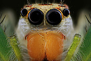 """BATAM, INDONESIA - JUNE 22: <br /> <br /> Insect super macro close up taken by photographer  Muhammad Roem in Batam, Riau Islands Province, Indonesia. <br /> <br /> Muhammad Roem specialize's in insects. """"Macro photography taught me how to recognize shapes and insect face. The face of the little insects that are unique and there unusual look<br /> <br /> Photo shows;  Jumping spider <br /> ©Muhammad Roem/Exclusivepix Media"""
