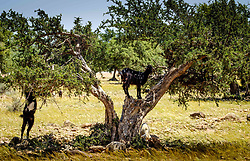 Goats grazing around and from Argan trees on the plain south of the High Atlas Mountains, Morocco, North Africa<br /> <br /> (c) Andrew Wilson | Edinburgh Elite media