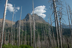 Reynolds Mountain Towers Over Burned Lodgepole Pine Forest, St, Mary Falls Trail, Glacier National Park, Montana, US