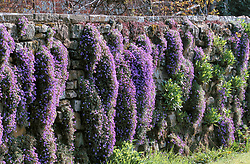 Aubretia growing in the dry stone walls at Great Dixter