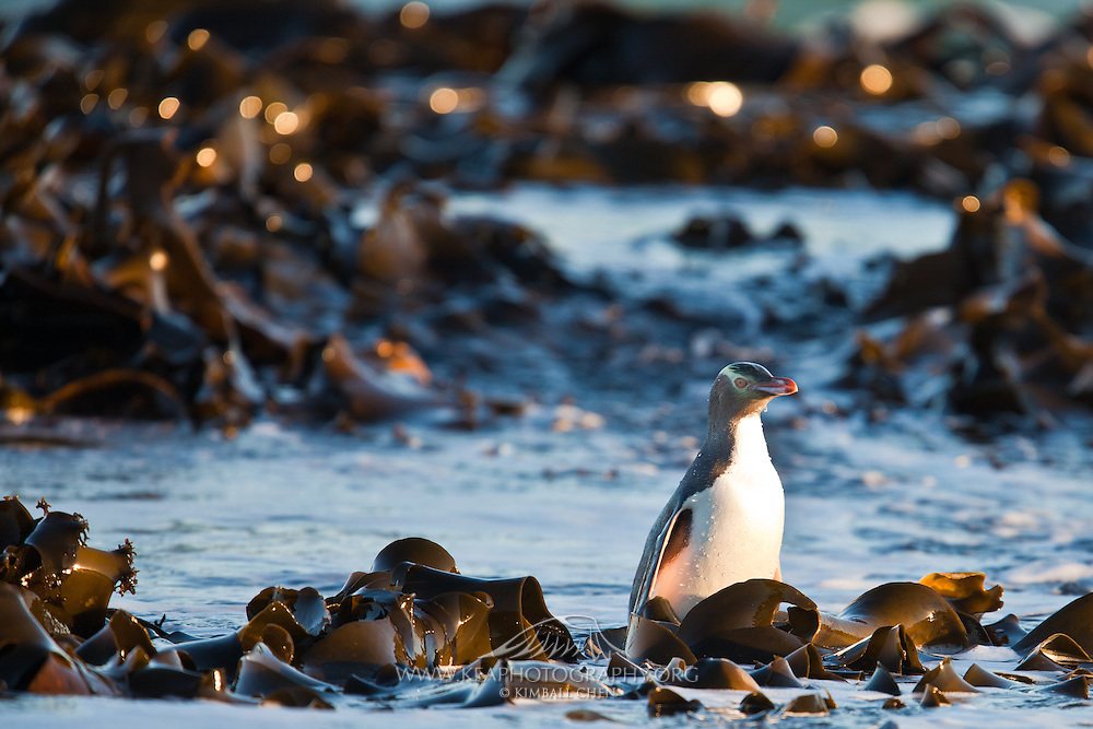 Yellow-eyed Penguin, Curio Bay, New Zealand