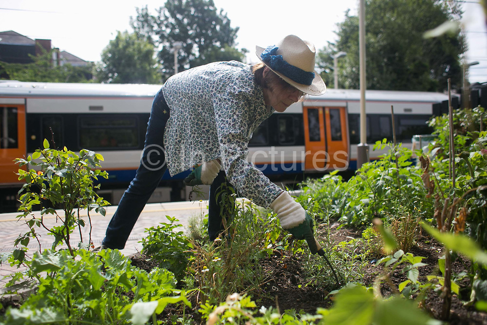 Shelagh Molloy, a local resident to Brondesbury Park Stations puts in a few hours of work in the newly finished Energy Garden, watering and weeding 28th July 2016, London, United Kingdom. The water is collected rain water and the pump is solar panel powered. Energy Gardens is a pan-London community garden project where reclaimed land alongside over ground train stations and track are cultivated by local community groups. Up 50 gardens are projected with the rail network being the connection grid. The project is a collaboration between Repowering London, Groundwork, local community groups, station managers working for Transport For London and Network Rail.