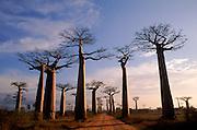Baobab trees along road {Adansonia grandidieri} Morondava, Madagascar