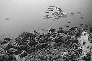 Brown Sweetlips-Diagramme noir (Plectorhinchus gibbosus) of Red Sea, Sudan.