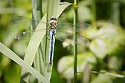 Emperor dragonfly. Dorset, UK.