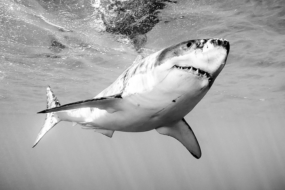 Mexico, Baja California. A great white shark peacefuly swimming in the ocean near the surface at Guadalupe Island.