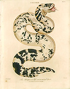 The atropos or life consuming viper Handcolored copperplate engraving From the Encyclopaedia Londinensis or, Universal dictionary of arts, sciences, and literature; Volume IV;  Edited by Wilkes, John. Published in London in 1810
