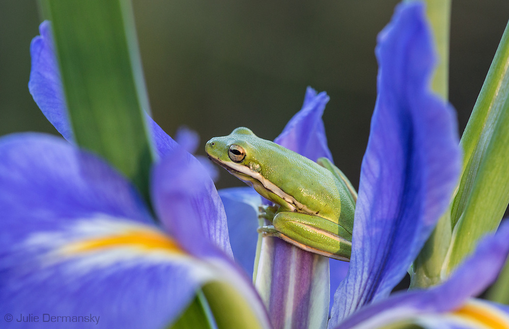 Tree frog on a wild iris in Bayou LaBranch Louisiana. Bayou LaBranch fills with wild irises each spring.
