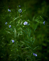 Blue Flax Flowers. Image taken with a Nikon D850 camera and 105 mm f/1.4 lens