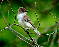 Eastern Phoebe. Image taken with a Fuji X-T2 camera and 100-400 mm OIS lens (ISO 320, 400 mm, f/5.6, 1/60 sec)