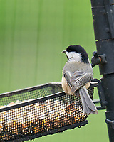 Black-capped Chickadee. Image taken with a LeicaSL2 camera and Sigma 150-600 mm sport lens.