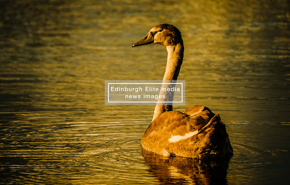 A young cygnet at dusk<br /> <br /> (c) Andrew Wilson | Edinburgh Elite media