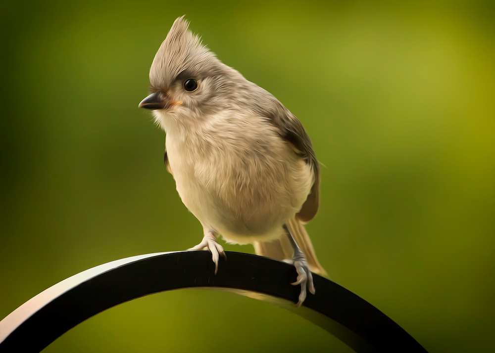 A Tufted Titmouse Perched on Metal Pole with flowing details