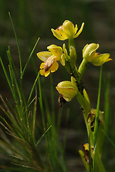 Gele orchis, Ophrys lutea