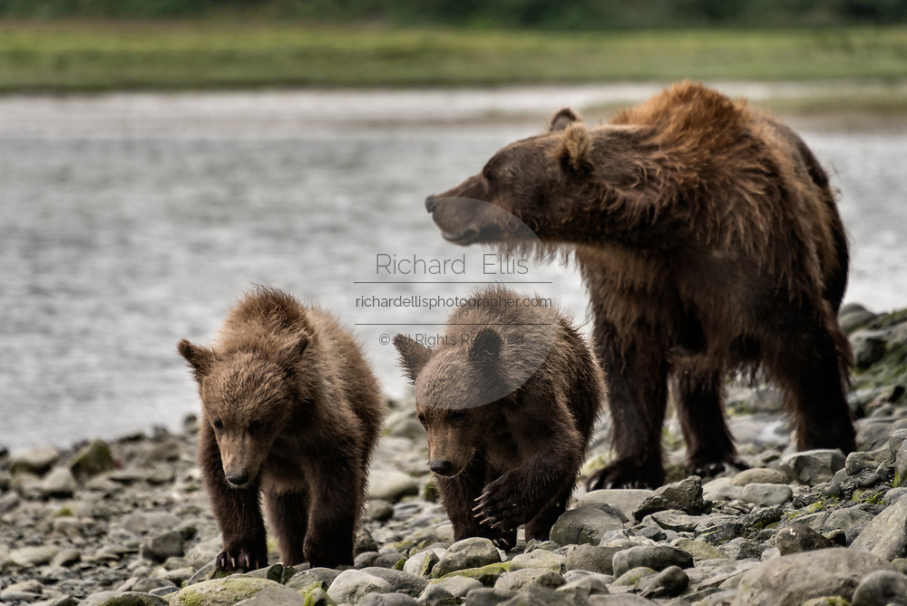 A brown bear sow known as Bearded Lady watches over her spring cubs at the McNeil River State Game Sanctuary on the Kenai Peninsula, Alaska. The remote site is accessed only with a special permit and is the world's largest seasonal population of brown bears